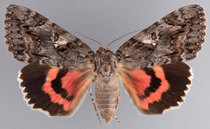The Aholibah Underwing Moth (Erebidae) is associated with oak habitats.