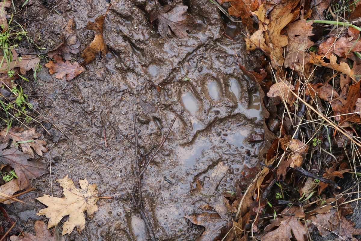 Bear paw print in the mud
