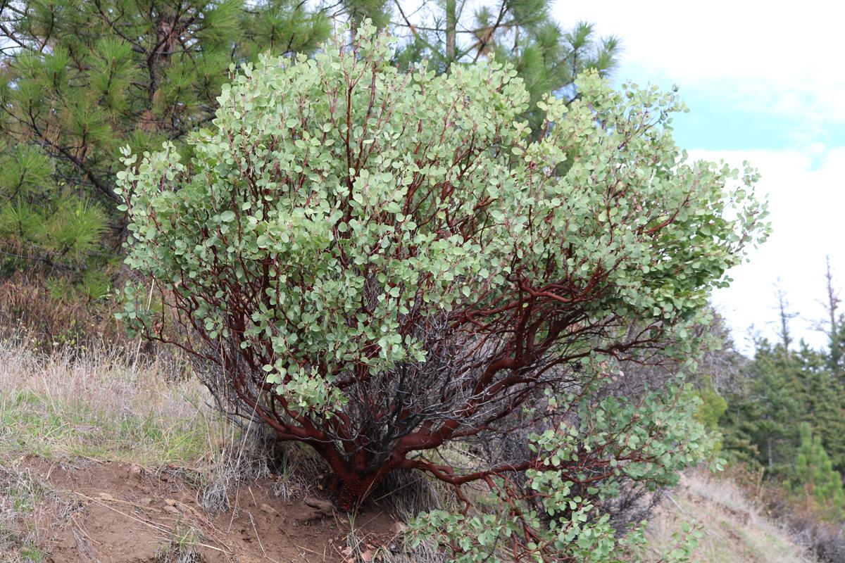 Whiteleaf Manzanita <em>(Arctostaphylos viscida)</em>