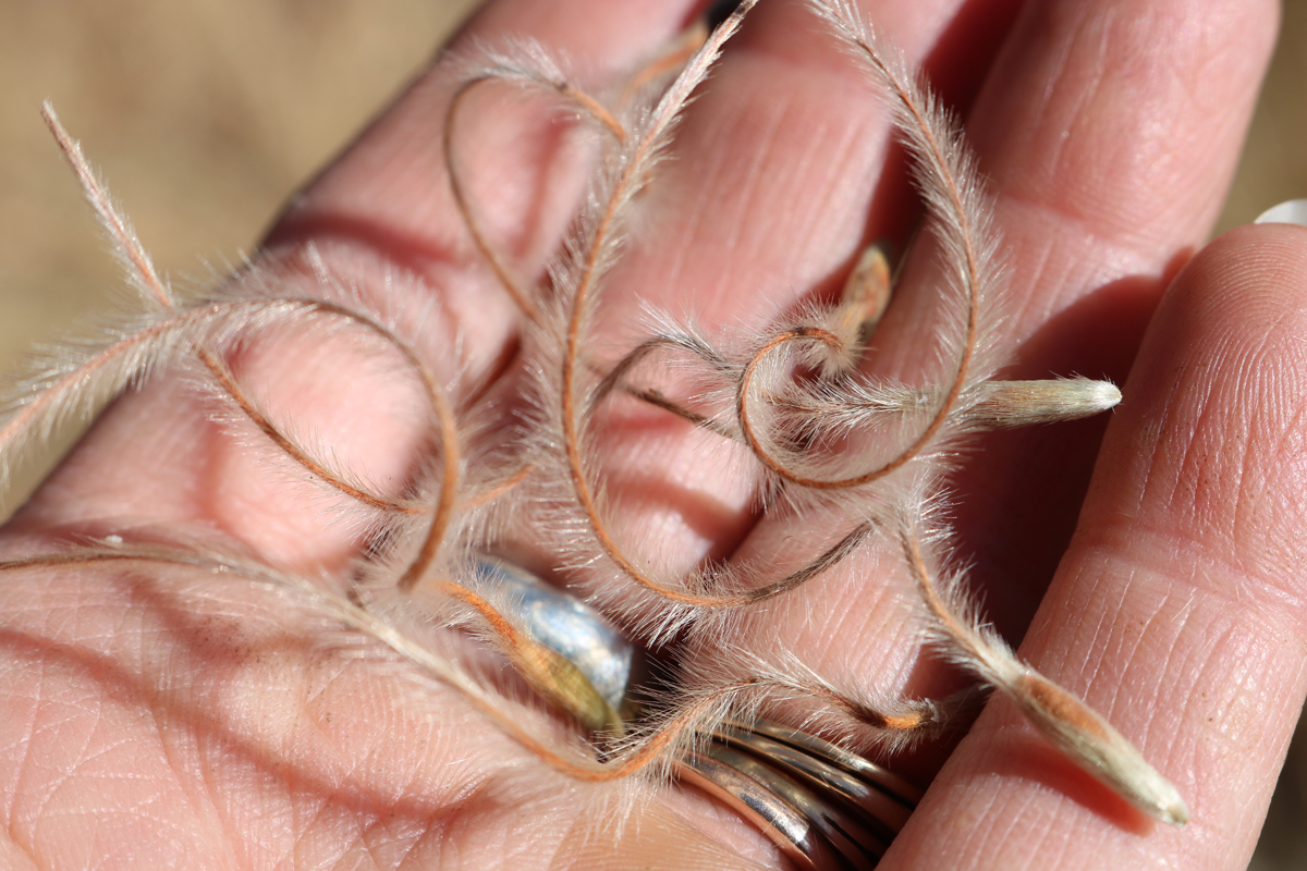 Birchleaf Mountain Mahogany <em>(Cerocarpus betuloides)</em> seeds