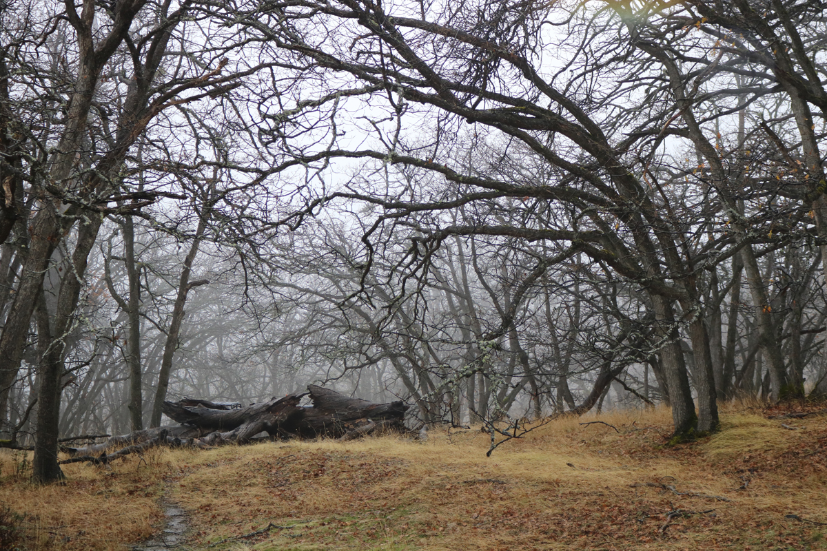 Oaks in the Mist